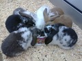 Mini Lop baby bunnies, ready now.